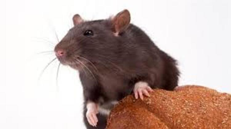 Rat and Mouse Exterminator Scottsdale
