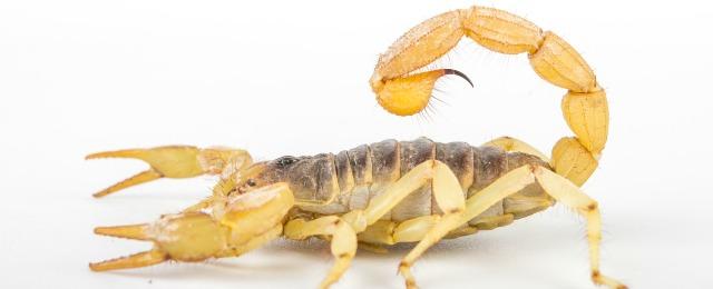 scorpion-removal-AZ